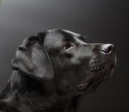 Na czarny tle czarny Labrador Zdjęcie Stock