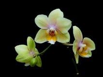 Na czarny tle kwitnąca żółta orchidea Fotografia Royalty Free