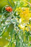 Na de regen met lieveheersbeestje. Royalty-vrije Stock Afbeelding