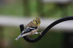 Na Dozowniku żółty Finch Obraz Royalty Free