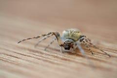 Na drewnianej podłoga europejski ogrodowy pająk Obraz Royalty Free