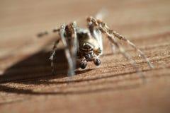Na drewnianej podłoga europejski ogrodowy pająk Fotografia Royalty Free