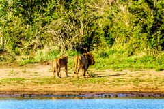 Na drinkwater van Nkaya Pan Watering Hole een Mannelijke en Vrouwelijke Leeuwrubriek terug in het bos Stock Afbeeldingen