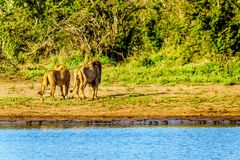 Na drinkwater van Nkaya Pan Watering Hole in Kruger-Park een Mannelijke en Vrouwelijke Leeuwrubriek terug in het bos Stock Afbeelding