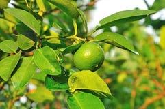 Na drzewie świeża zielona cytryna Obrazy Royalty Free
