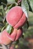 Na Drzewie czerwone Brzoskwinie Fotografia Stock