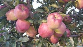 Na drzewie czerwoni jabłka Zdjęcia Royalty Free