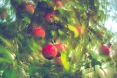 Na drzewie czerwony jabłko obrazy stock