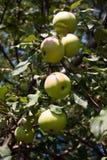 Na drzewie dojrzali jabłka Zdjęcia Stock