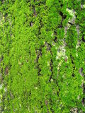 Na drzewnym bagażniku zielony mech Zdjęcia Royalty Free