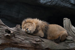 Na drzewnym bagażniku lwa dosypianie Zdjęcie Royalty Free