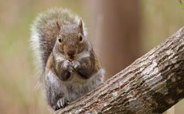 Na Drzewnym Bagażniku szary Wiewiórczy Karmienie Obraz Royalty Free