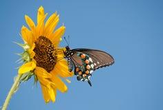 Na dzikim Słoneczniku Swallowtail zielony motyl obraz stock