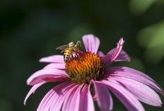 Na echinacea kwiacie miodowa pszczoła Fotografia Royalty Free