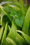 Na een de zomerregen macrofoto van waterdalingen (dauw) op de stammen en de bladeren van groene installaties Royalty-vrije Stock Foto's