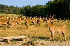 Na exploração agrícola dos cervos Imagem de Stock