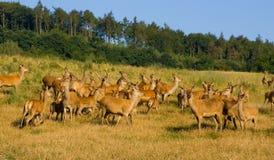 Na exploração agrícola dos cervos Foto de Stock