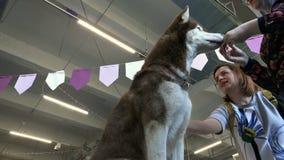 Na exposição de cães, o cão de puxar trenós come com as mãos filme