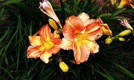 Na flor completa Imagem de Stock