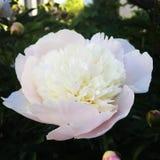 Na flor completa Imagem de Stock Royalty Free
