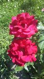 Na flor completa Imagens de Stock Royalty Free