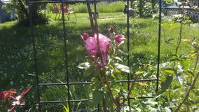 Na flor completa Foto de Stock Royalty Free