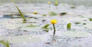 Na flor nenuphar da lagoa Vista lateral Imagem de Stock