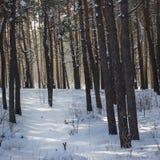 Na floresta conífera misteriosa no inverno atrás das árvores você pode ver a luz solar brilhante Imagens de Stock Royalty Free