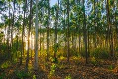 Na floresta do eucalipto Fotos de Stock Royalty Free