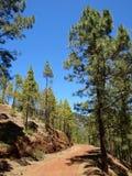 Na floresta do pinho Fotografia de Stock Royalty Free