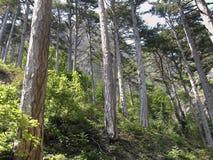 Na floresta do pinho imagem de stock