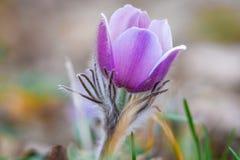 Na floresta do pinho o pasqueflower floresce patens do Pulsatilla Imagens de Stock Royalty Free