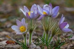 Na floresta do pinho o pasqueflower floresce patens do Pulsatilla Imagem de Stock