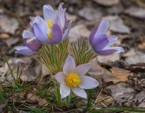 Na floresta do pinho o pasqueflower floresce patens do Pulsatilla Fotografia de Stock Royalty Free