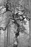 Na floresta em Verzy uma árvore do fau foto de stock