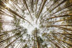 Na floresta profunda olhar acima disparou Fotografia de Stock Royalty Free