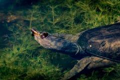 na florydę softshell żółwia Zdjęcie Stock