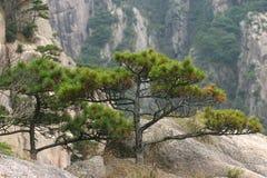Na górze sosen drzewa Zdjęcia Royalty Free