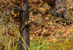 Na gałąź Chipmunk obsiadanie Jesień Zdjęcia Royalty Free