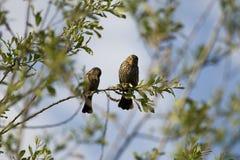 Na gałąź dwa ptaka Obraz Royalty Free