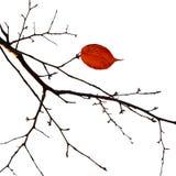 Na gałąź jesień jeden liść. Biały tło. Obrazy Stock