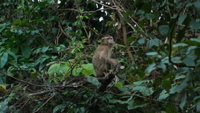 Na gałąź małpi obsiadanie zbiory