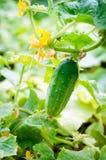 Na gałąź organicznie ogórek Zdjęcie Royalty Free