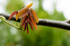 Na gałąź orzech włoski pierwszy liście jasnobrązowy kolor kwitnęli Na liściach, mały pollen jest widoczny Obraz Stock