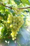 Na gałąź zieleni winogrona Zdjęcie Royalty Free