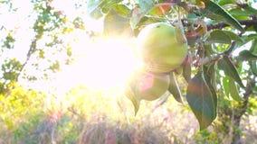 Na gałąź zielony jabłko zdjęcie wideo