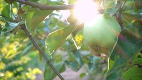 Na gałąź zielony jabłko zbiory