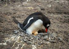Na gniazdeczku Gentoo pingwin Fotografia Royalty Free