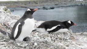Na gniazdeczku Gentoo pingwin zbiory wideo