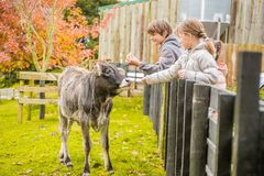 Na gospodarstwie rolnym krowa zdjęcie royalty free